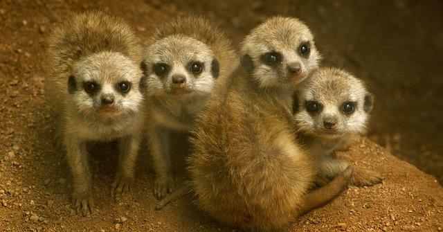 malé surikaty