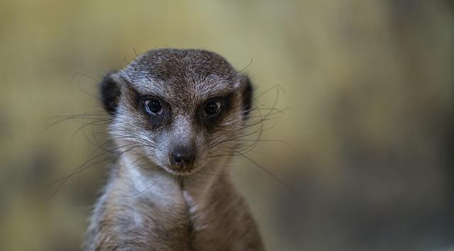 pohled surikaty