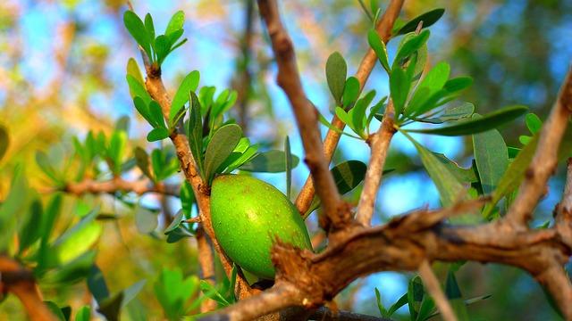 argan ovoce